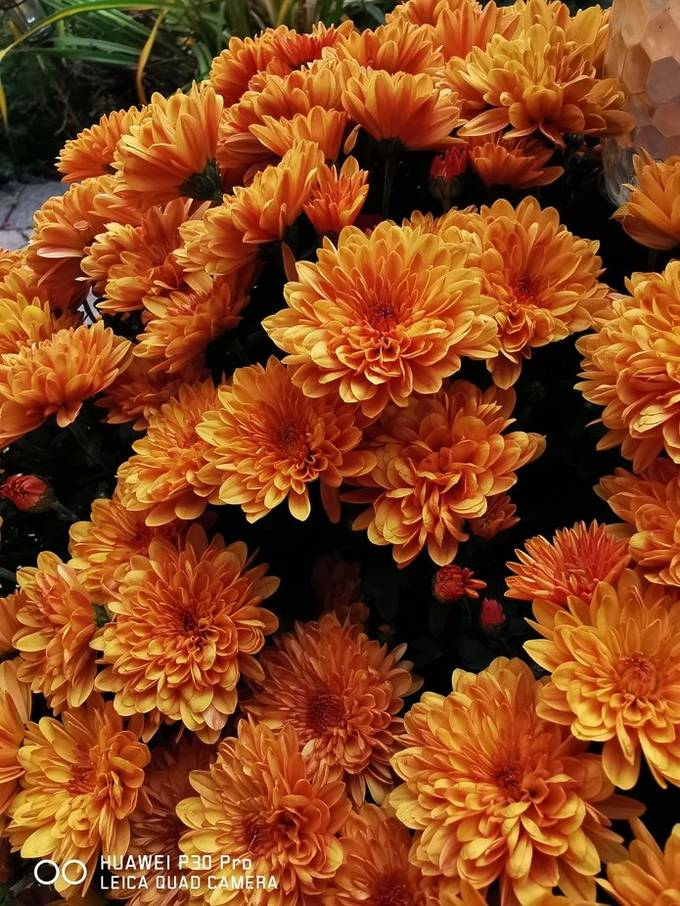 Traditional fall flower