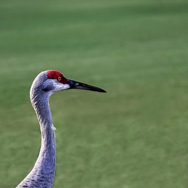 Portrait of a Sand Hill Crane NW