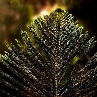 Norwegian Pine Branches NW