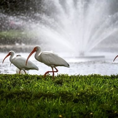 Ibis with Fountain NW