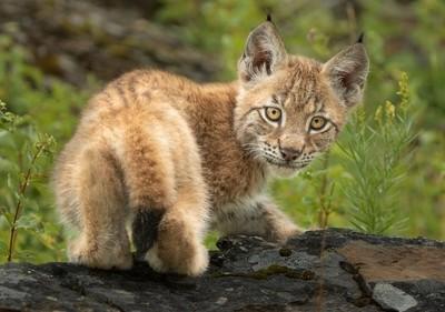 Siberian Lynx Doing his Catwalk