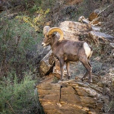 Bighorn Sheep at Sabino Canyon Tucson