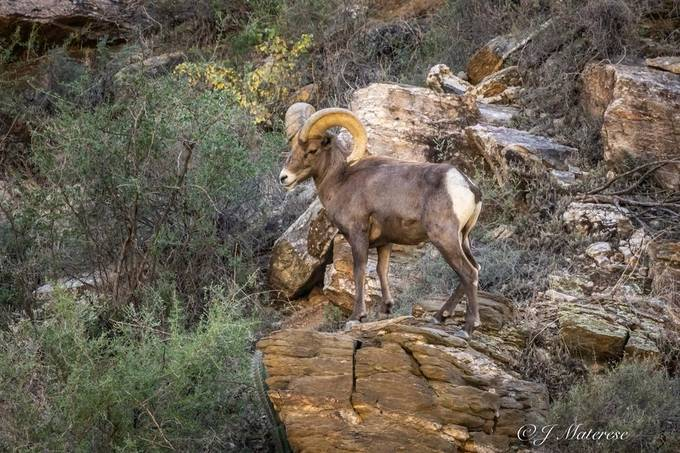 Bighorn Sheep at Sabino Canyon Tucson