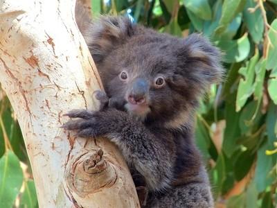 koala_joey