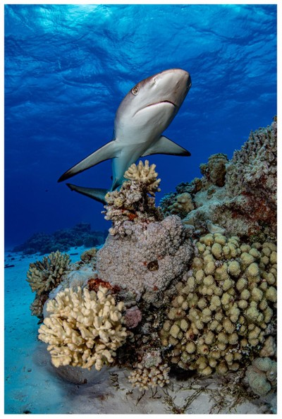 Beverage Reef Grey Reef Shark