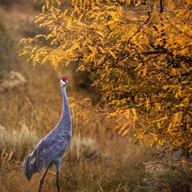 Sand Hill Crane in Fall Foliage NW