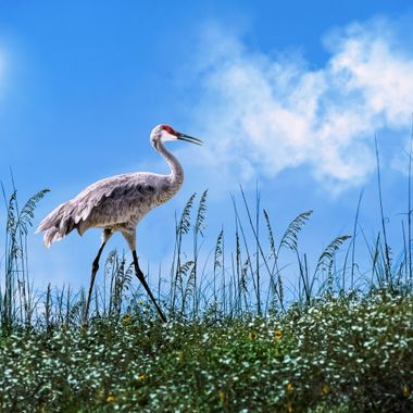 Sand Hill Crane on Dune NW