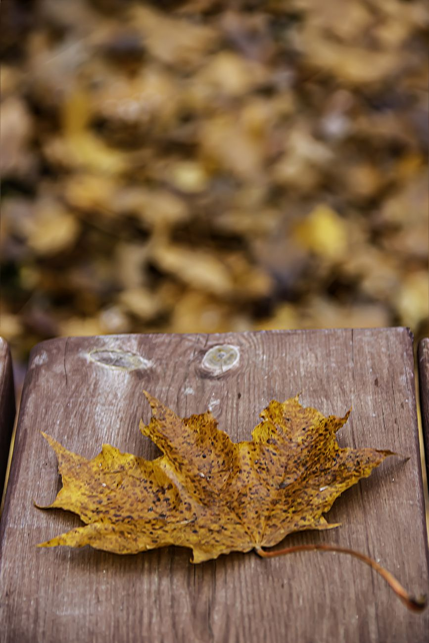 An autumn leaf with blurred background of fall leaves