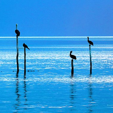 Pelicans, Isla Holbox, Quintana Roo, México