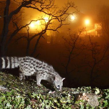 Gineta (Genetta genetta) animal salvaje que le gusta estar cerca del hombre,sin dejarse ver. En la Sierra de Francia-Spain