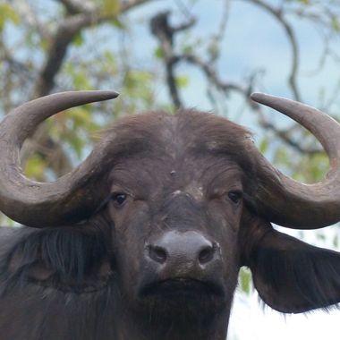 Buff Cow