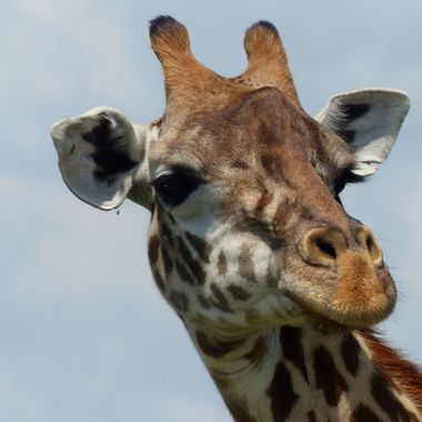 Male Giraffe Up Close