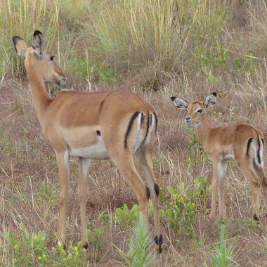 Impala Ewe & Lamb