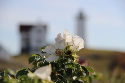 flower with lighthouse background