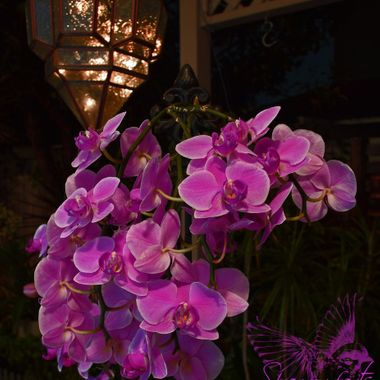 My first attempt at flowers - the last show of the orchid - playing around with lighting