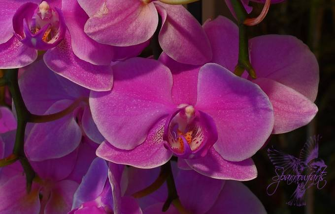 M's Orchid Closeup