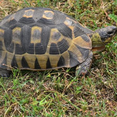 Angulate Tortoise found in the rest camp in Bontebok National Park