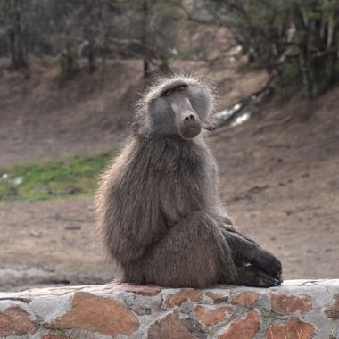 Cape Baboon on a stonewall at a dam in Bontebok National Park