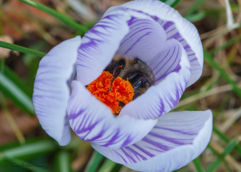 I wanted to photograph this spring crocus for several days. When I finally found time to get the ...