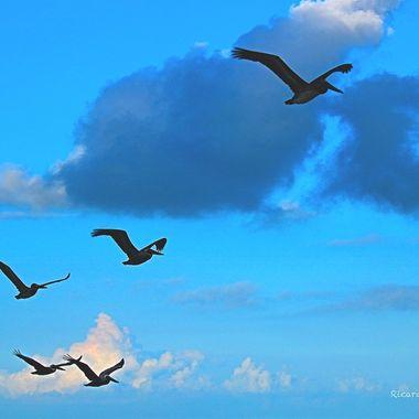 Seagulls at Holbox, Quintana Roo, México