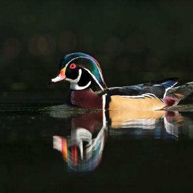 Wood duck DSC02426