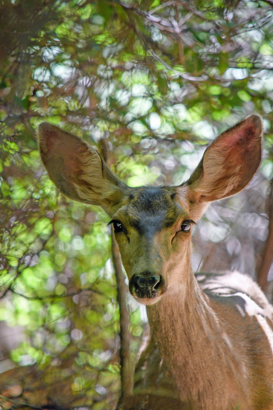 Coming face to face with a Mule Deer hiking in Sedona.