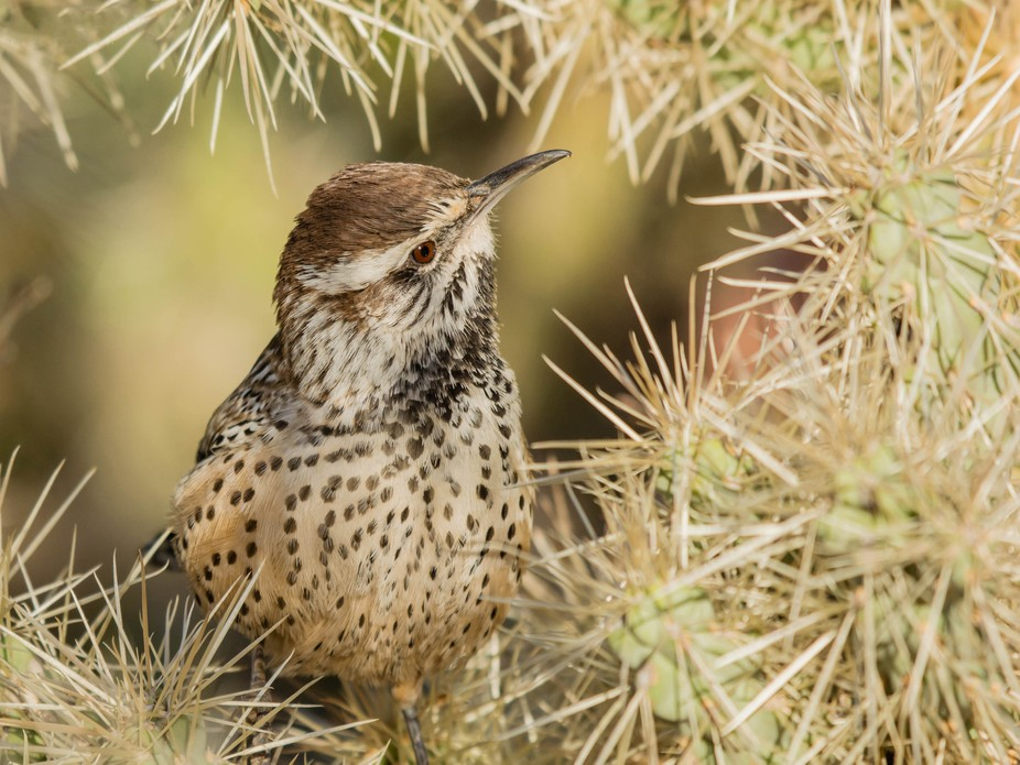Amazing how the Cactus Wren doesn't get stuck by the needles of a Cholla Cactus.