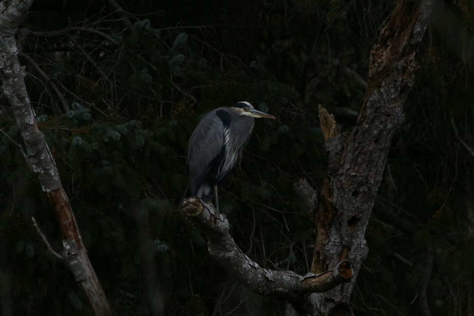 Blue Heron perched, Courtenay BC