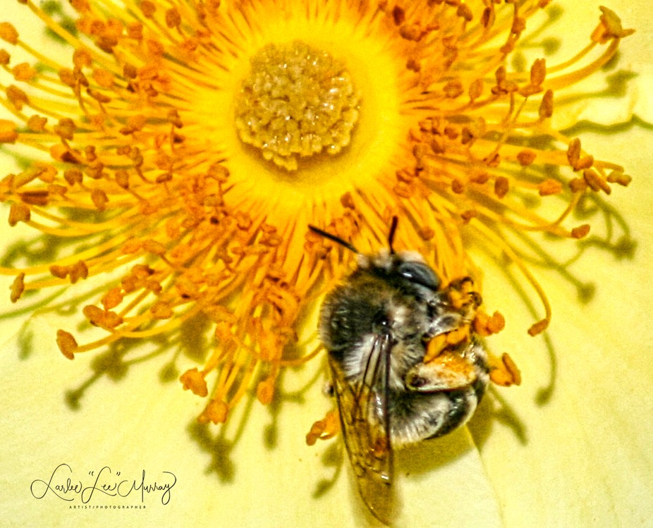 bee clinging the flower while collecting nectar - precarious hold....