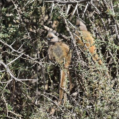 Speckled Mousebirds in thorny bush in Bergkwagga National Park.