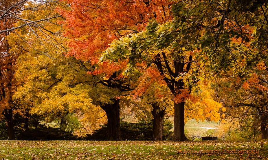 Trees glowing with autumn splendor