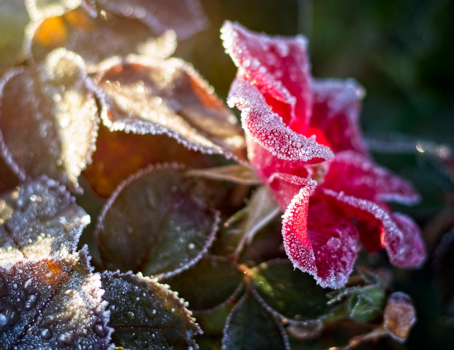 A frosty morning shows the start of the cold season in Washington. Frost covers the wild rose plant in our yard...