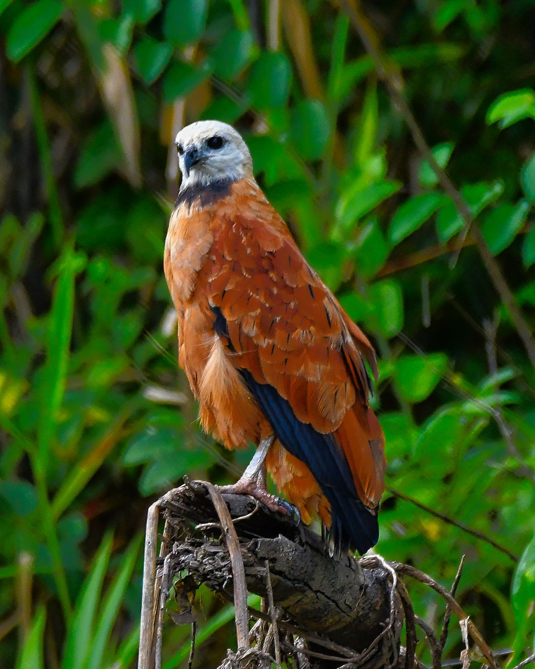 Black-collared hawk perched over the Ucayali River in the Pacaya-Samiria Reserve in the Peruvian Amazon