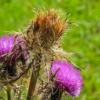 Scotch Thistle NW