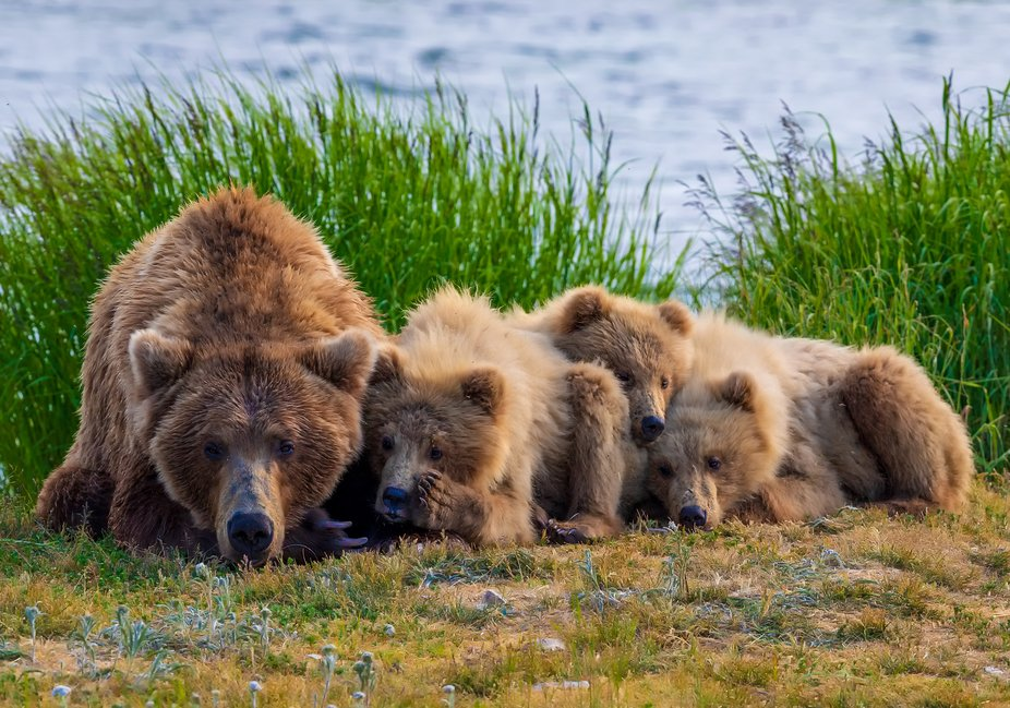 Mom with 3 cubs snuggle up for a nap in Katmai, Alaska.