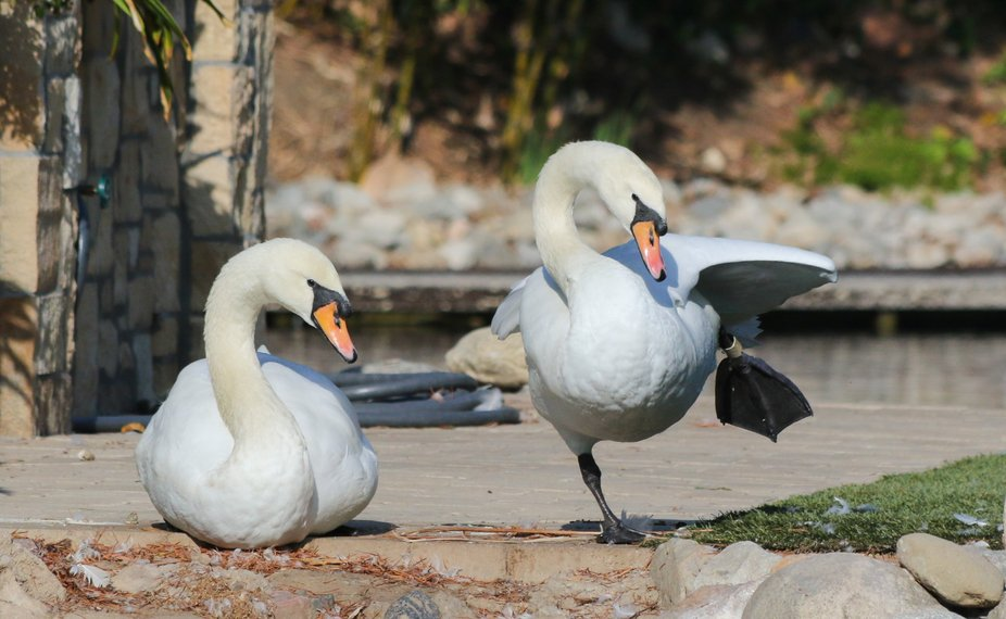 USA, California- A Swan grooms itself in a kind of dance. The other swan calmly watches.