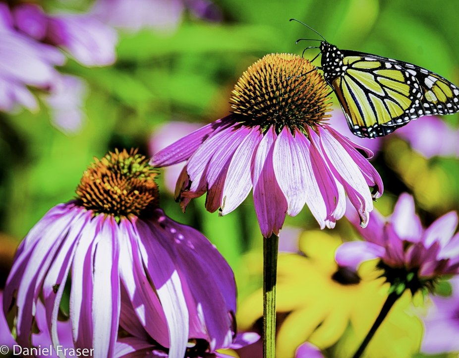 Mariposa Butterfly Resting on a Coneflower.