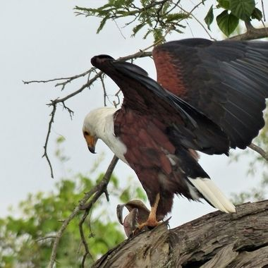 A fish Eagle had just caught this fish and commenced feeding