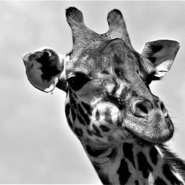 Giraffe Male B&W