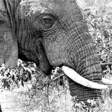 Bull Elephant Grazing B&W