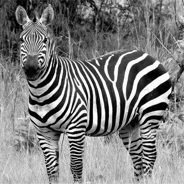 Zebra Male B&W