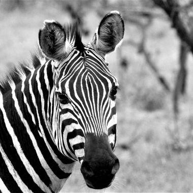 Zebra Portrait B&W