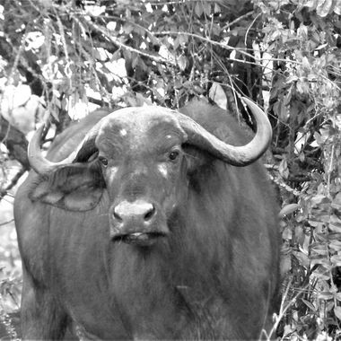 Cape Buffalo Cow B&W