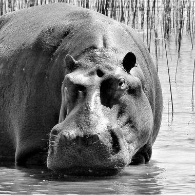 Hippo B&W