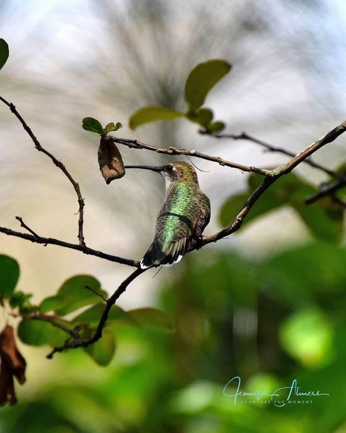 Hummingbird in Crepe Myrtle
