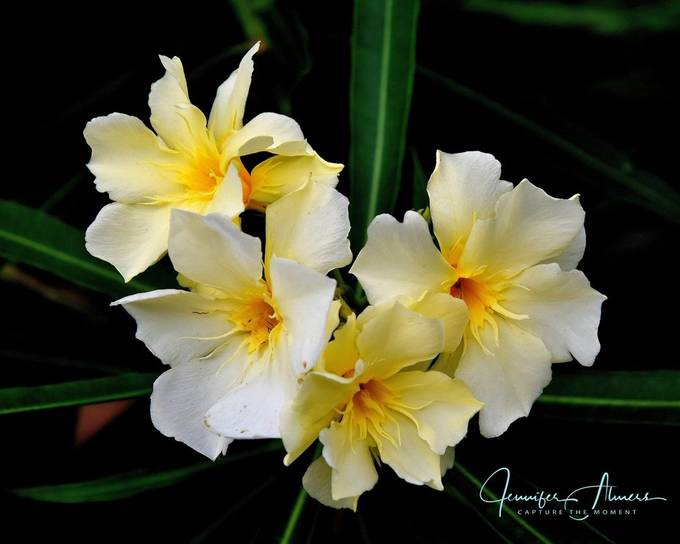 Yellow Oleander Blossoms