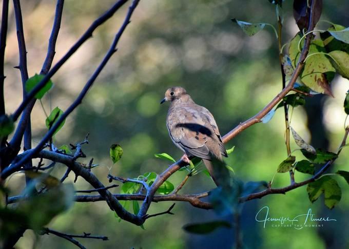 Dove in Pear Tree