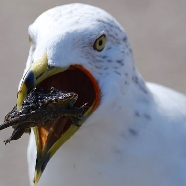 seagull eating a snapping turtle