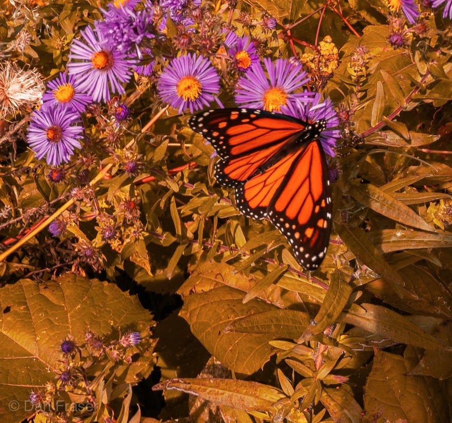 Fall butterfly I saw during a walk alongside the Turtle Protection Zone in Tudhope Park.
