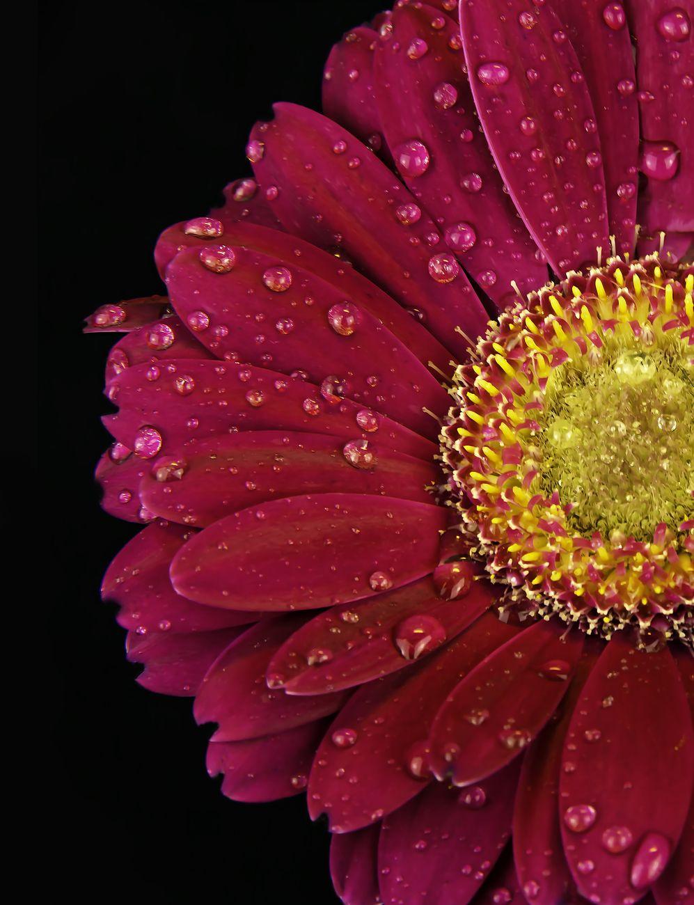 Gerbera close up with drops